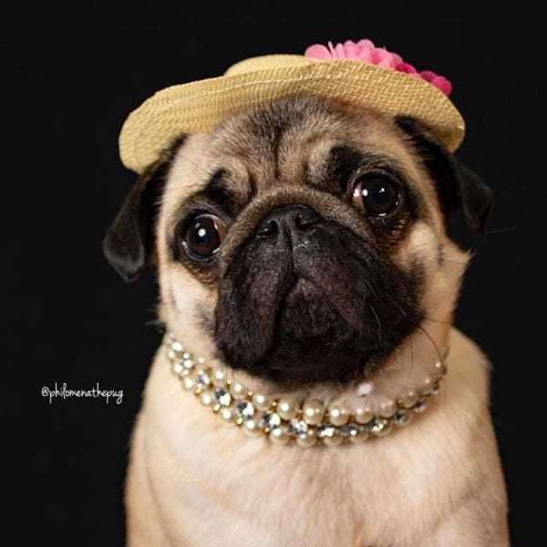 All dolled up for my exciting day of fun with @matildazpug! ⠀⠀⠀⠀⠀⠀⠀⠀⠀ Then tonight we hit the town with @bodiespanky @ellathepuggriffon @fancy_meeting_u_here @pugteddyneugent @sparklesthediva What are you up to this weekend?