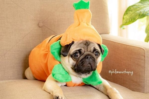 Guys, send help! Daddy's pumpkin spice obsession is getting out of hand. #pugkinspice