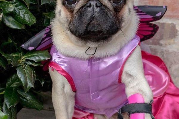 Pixie Pug 🧚♀️
