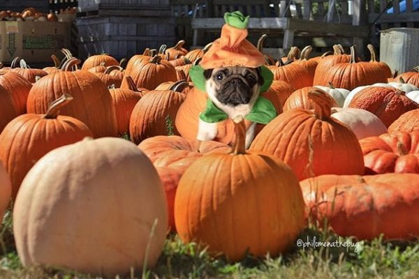 Pugkin patch 🎃 🎃