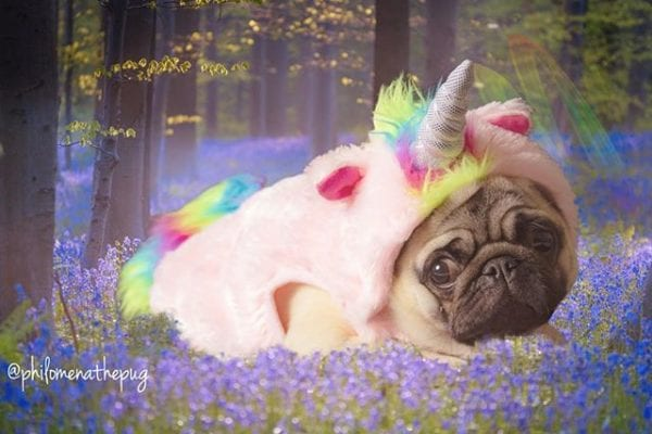 Spotted in the wild: the elusive Pugicorn 🦄