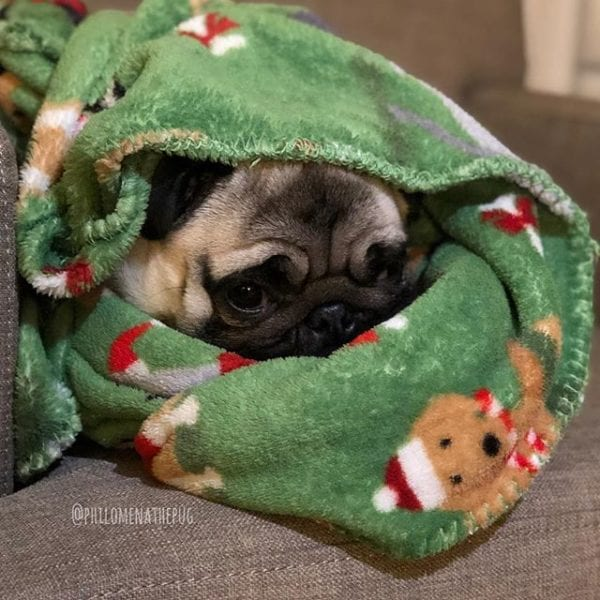 Pug burrito: Christmas edition