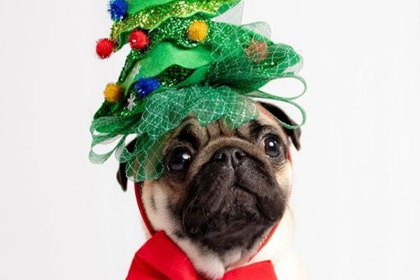 Oh Pugmas tree, oh Pugmas tree 🎄