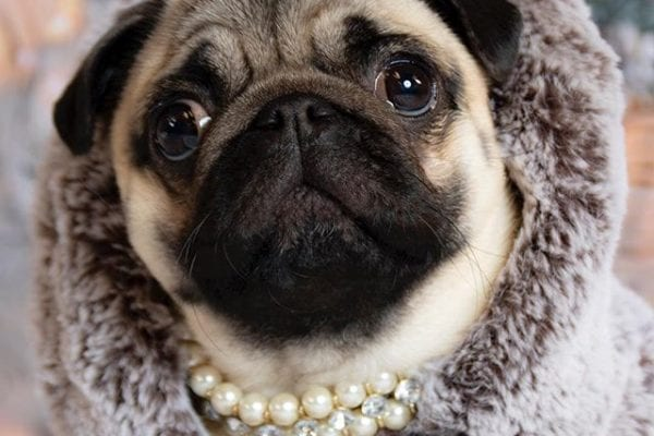 Oh yeah @itsdougthepug, How about Cozy, Fabulous AND Sassy 💋