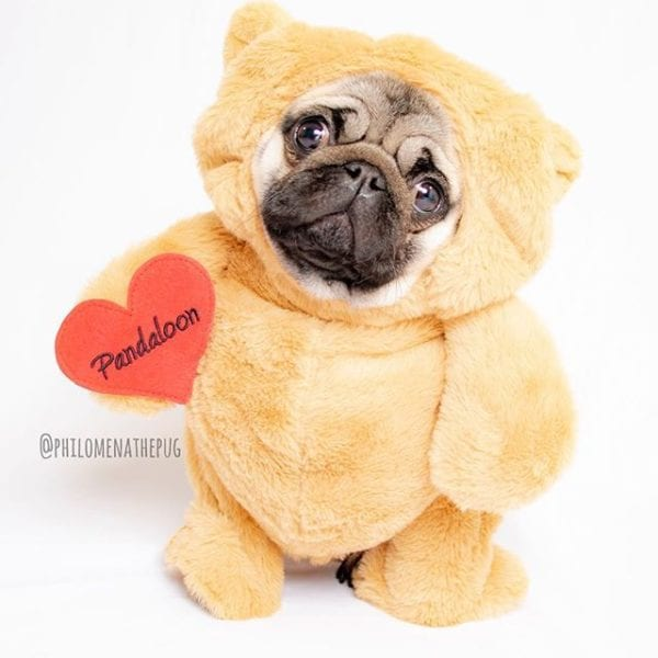 Puggy Bear here and available for cuddles