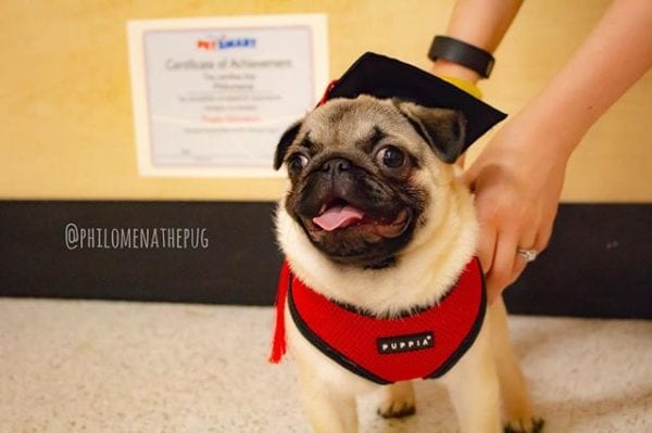 #FBF to when I graduated from puppy class! Did you know I went on to get my #caninegoodcitizen certification? I'll learn anything for snackies 🤣