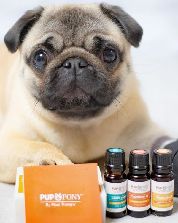 Mom loves essentials oils but knows many aren't safe for dogs. So we are so excited to try the new Pup and Pony oil blends from @planttherapy ⁣ ⁣ I was able to try the Man's Best Friend set. It includes 3 blended oils especially for 🐶 and 🐴 ⁣ ⁣ • Confident K9 is formulated for 🐶🐴 who struggle with being alone.⁣ • Happy Trails helps make traveling easier, helps sooth upset stomachs, and keep 🐶🐴 calm and worry-free during travel.⁣ • Show Ready utilizes essential oils to help support the immune system in order to help protect from illness⁣. ⁣ Use code PHILOMENA to save 10% on Pup and Pony products from 4/11-4/24 and code BANDANA to receive a bandana with your Pup and Pony purchase!⁣ ⁣ #planttherapy #iloveplanttherapy #pupandpony #pupfluencer @pupelite